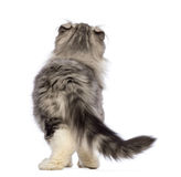 Rear view of an American Curl kitten, 3 months old, looking up. In front of white background royalty free stock images
