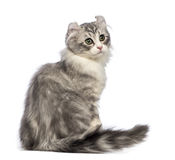 Rear view of an American Curl kitten, 3 months old, sitting and looking back Royalty Free Stock Photos