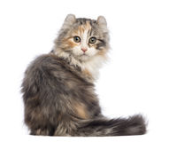 Rear view of an American Curl kitten, 3 months old, sitting and looking at the camera Stock Image