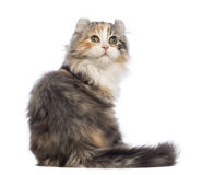 Rear view of an American Curl kitten, 3 months old, sitting and looking up Royalty Free Stock Image