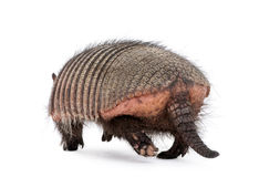 Rear view of Armadillo against white background Royalty Free Stock Images