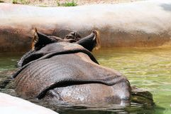 Rear view of Asian rhino in water Stock Photos