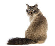 Rear view of a Birman sitting and looking back Royalty Free Stock Image