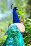 Rear view of blue peacock in nature Royalty Free Stock Photo