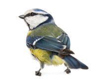 Rear view of a Blue Tit, Cyanistes caeruleus Stock Image