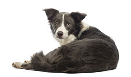 Rear view of a Border Collie, 8 months old, lying and looking at the camera Stock Photos