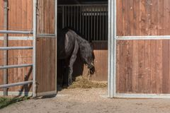 Rear View of Brown Horse inside Stall Eating Yellow Hay.  royalty free stock photography