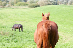Rear view of a brown horse in a meadow Stock Images