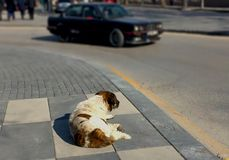 Rear view of a brown and white stray dog lying alone on the road royalty free stock photos