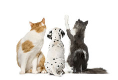Rear view of cats and Dalmatian puppy, isolated. On white royalty free stock images