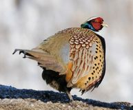 Rear view of common Pheasant Stock Photography