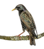 Rear view of a Common Starling perching on a branch Stock Image