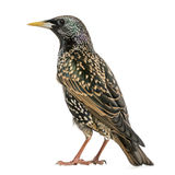 Rear view of a Common Starling, Sturnus vulgaris, isolated Stock Photo