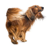 Rear view of a Dachshund, 4 years old, walking. And looking up against white background Royalty Free Stock Image