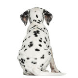 Rear view of a Dalmatian puppy, sitting, isolated. On white stock photo
