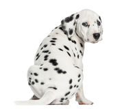 Rear view of a Dalmatian puppy sitting, looking at the camera. Isolated on white stock photo