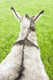 A rear view of a donkey Royalty Free Stock Photo