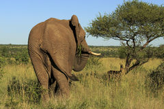 Rear view of an elephant eating. Rear view of an elephant in the wild eating a thorn bush stock photos