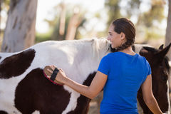 Rear view of female cleaning horse. While standing at paddock stock image
