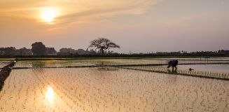 Young rice sprouts ready to growing in the rice field in Hanoi,. Rear view a female farmer planting on rice field at sunset in rural Hanoi, Vietnam. Young rice Royalty Free Stock Photo