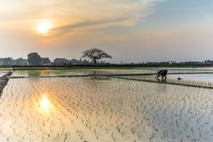 Young rice sprouts ready to growing in the rice field in Hanoi,. Rear view a female farmer planting on rice field at sunset in rural Hanoi, Vietnam. Young rice Royalty Free Stock Photography