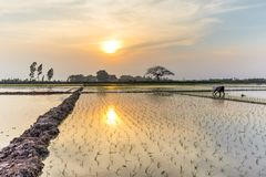 Young rice sprouts ready to growing in the rice field in Hanoi,. Rear view a female farmer planting on rice field at sunset in rural Hanoi, Vietnam. Young rice Royalty Free Stock Photos