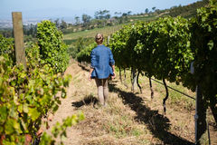 Rear view of female vintner walking in vineyard. On a sunny day Royalty Free Stock Images