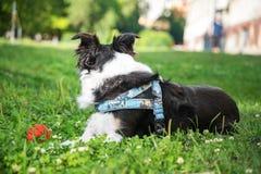 Collie dog on a summer walk lies on the grass