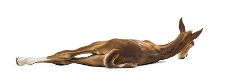 Rear view of a foal lying on the side Stock Photo