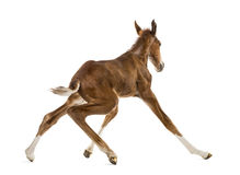 Rear view of a foal standing up and balancing Royalty Free Stock Image