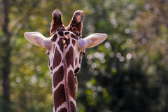 Rear view of giraffe head and neck Royalty Free Stock Photo