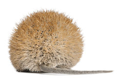 Rear view of Golden Spiny Mouse Royalty Free Stock Images
