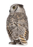 Rear view of Great Horned Owl Royalty Free Stock Image