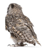 Rear view of Great Horned Owl. Bubo Virginianus Subarcticus, in front of white background royalty free stock photography