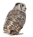 Rear view of Great Horned Owl Stock Photography