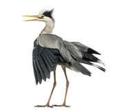 Rear view of an Grey Heron flapping its wings, screaming, Ardea Royalty Free Stock Photo