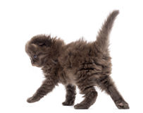 Rear view of a Highland fold kitten walking, isolated Stock Photos