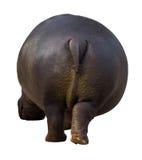 Rear view of hippopotamus Royalty Free Stock Photos
