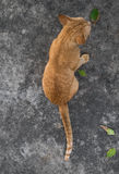 Rear view of homeless orange cat Royalty Free Stock Image