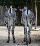 Rear view if two Zebras Royalty Free Stock Photos