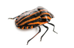 Rear view of an Italian Striped-Bug, Graphosoma lineatum Royalty Free Stock Photography