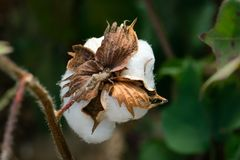 Rear View of Cotton Boll Stem in Cotton Field. Rear view macro of cotton boll stem in a cotton field with blurred background Royalty Free Stock Photo