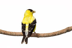 Rear view of male american goldfinch Stock Photography