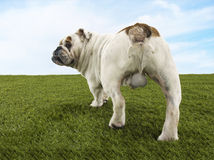 Rear View Of Male Bulldog Standing On Grass royalty free stock photography