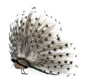 Rear view of Male Indian Peafowl. Displaying tail feathers in front of white background royalty free stock photos