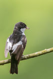 Male pied flycatcher Stock Images