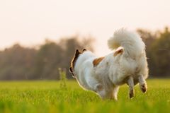 Free Rear View Of A Running Elo Dog Royalty Free Stock Image - 103743846