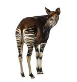 Rear view of an Okapi licking, Okapia johnstoni, isolated Royalty Free Stock Images