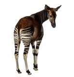 Rear view of an Okapi looking back, Okapia johnstoni, isolated Royalty Free Stock Photos