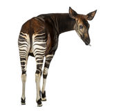 Rear view of an Okapi, looking back, sticking its tongue Royalty Free Stock Photos